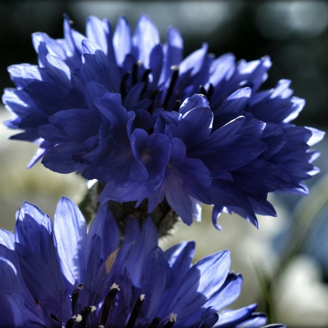 blåklint