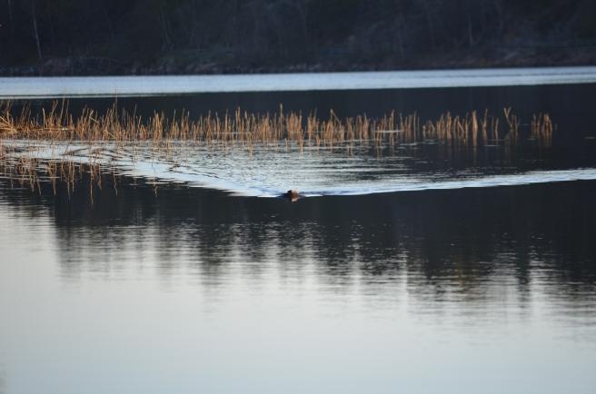 beaver approaching