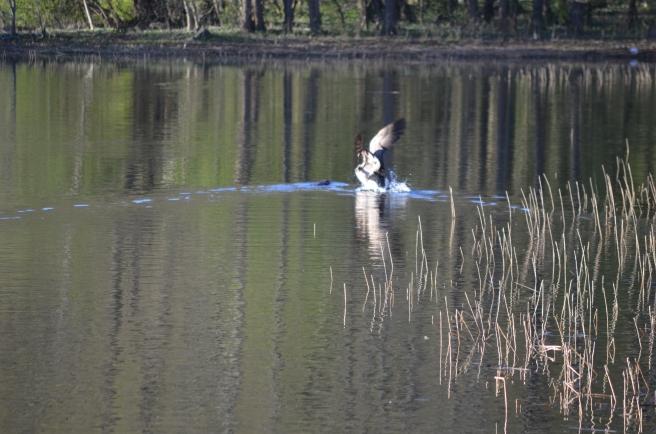 goose beaver