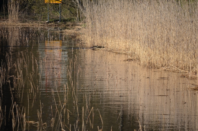 beaver in reed