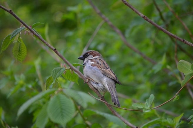 Mr House Sparrow